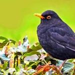 Blackbird art