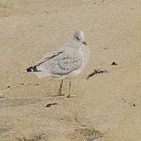 seagull walk300