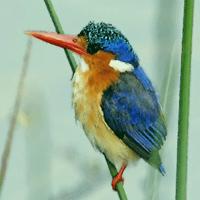 alcyone kingfisher200