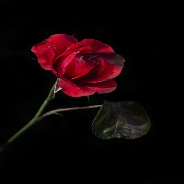 old-red-rose-soldier